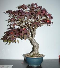 Bonsai Euphorbia
