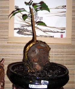 Ficus Bonsai root over rock 2004