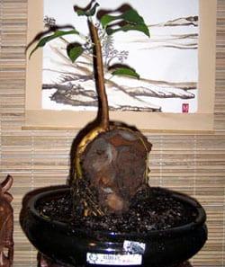 Ficus Bonsai root over rock 2004
