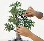 Bonsai Tips
