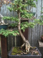 Cypress Bonsai