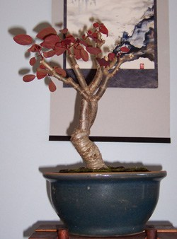 Bonsai Euphorbia