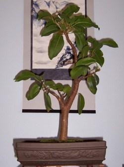 Ficus Bonsai Semi Deciduous