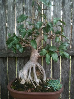 Bonsai Ficus Root Over Rock 2010