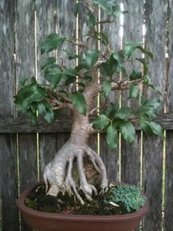 Bonsai Ficus Root Over Rock 2010