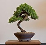 Bonsai Juniper