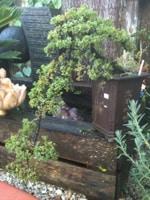 Cascading Juniper Bonsai
