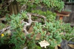 Juniper Bonsai Branching