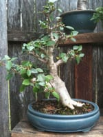 Fisus Bonsai Qld Small Leaf