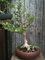Ficus Bonsai Tiger Bark