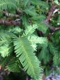Swamp Cypress Bonsai