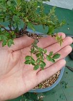 Chinese elm leaves