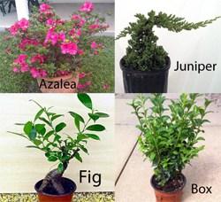 What Tree to Bonsai
