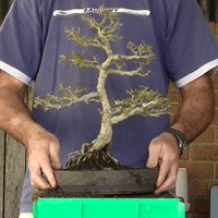 Root Pruning and Re-potting.mp4 2015.07.08 11.45.49.275