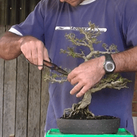 Root Pruning and Re-potting.mp4 2015.07.08 12.06.11.418